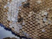 Only yellowjacket queens survive the winter. They emerge in the spring to build their paper-like nests (Photo by Deb Conway, Girlzwurk)