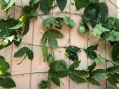 This passion fruit plant picked up at a farmer's market is thriving in it's new home. (Photo by Rebecca Jepsen)