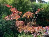 There are numerous reasons behind Japanese maple dieback, from girdling roots that compress the stem and sapwood to fungus that attacks from within — or it could just be a shortage of water. (Courtesy Rebecca Jepsen)