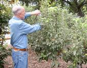 pruning-apple-tree