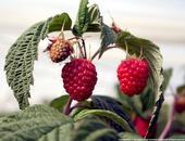 Josephine Red Raspberry Fruit