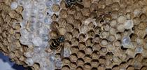 Only yellowjacket queens survive the winter. They emerge in the spring to build their paper-like nests (Photo by Deb Conway, Girlzwurk) for UC Master Gardeners Santa Clara County Blog