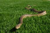 A Pacific gopher snake (Master Gardener Hank Morales)