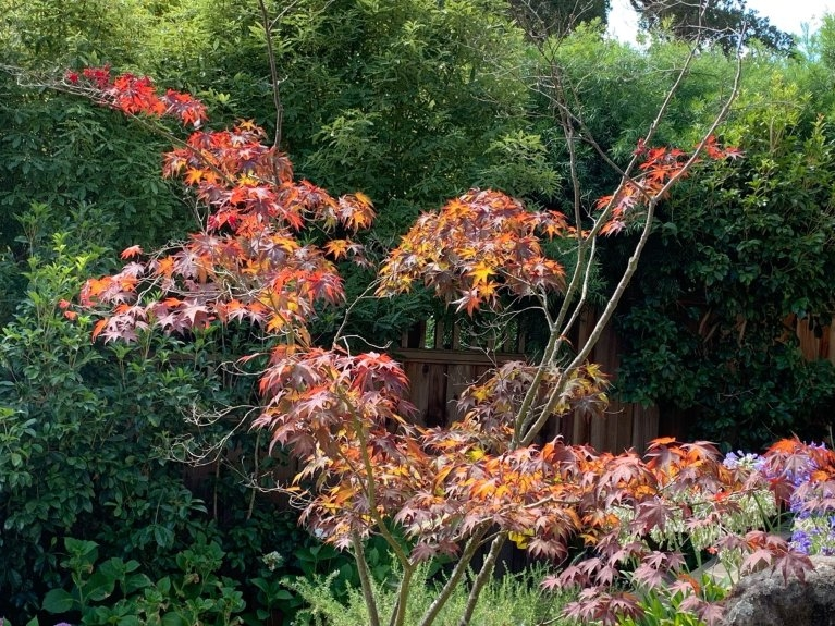 How To Cope With Japanese Maple Dieback Uc Master Gardeners Of Santa Clara County Anr Blogs