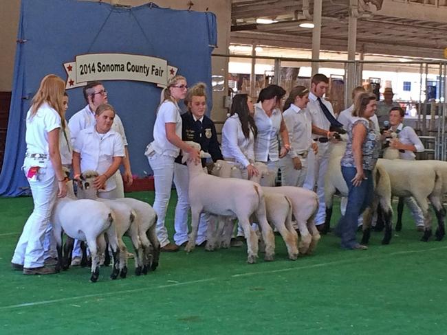 2014 SCF Sheep show
