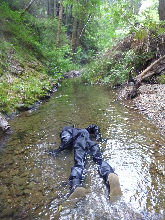 A biologist snorkels a stream to look for juvenile salmon and steelhead.