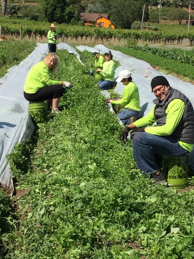 Farm to Pantry gleaners in action