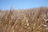 Barb goatgrass seedheads