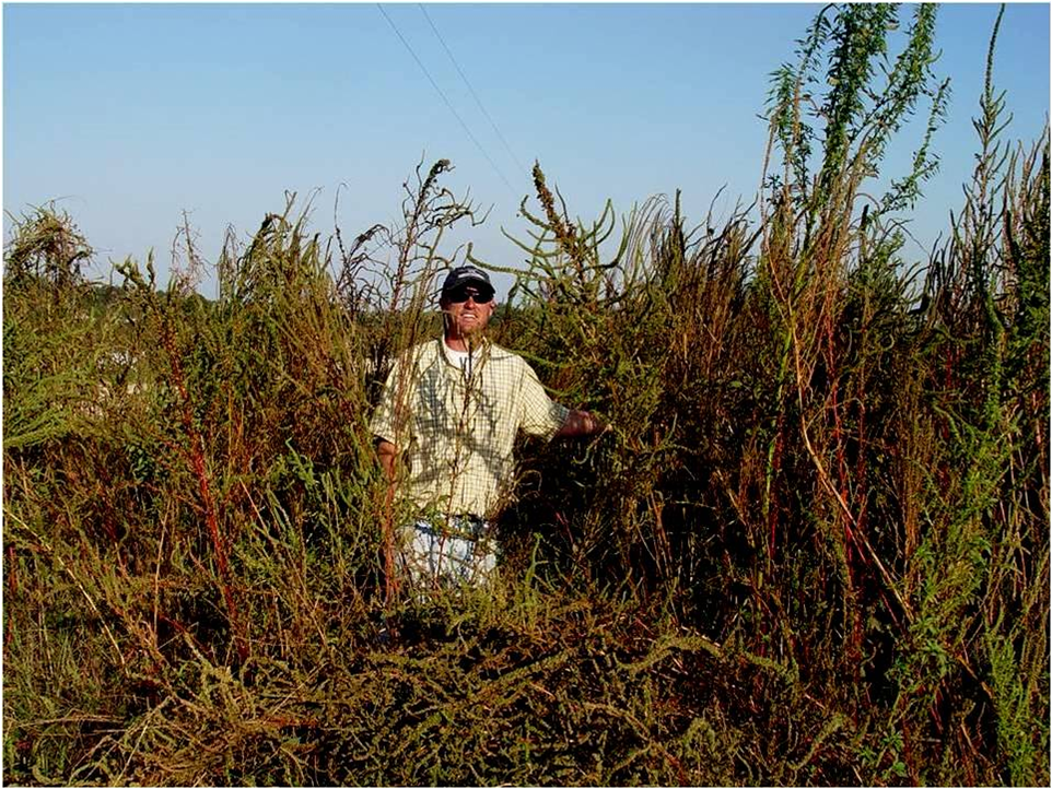 Deep tillage and cover crops for Palmer amaranth control - UC Weed ...