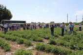 Weed Day 2011 tomato