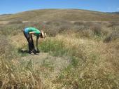 Elise Gornish looking at tumbleweed seedlings.