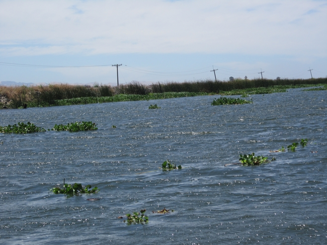 Figure 1. Water hyacinth mats floating in the Sacramento-San Joaquin Delta.