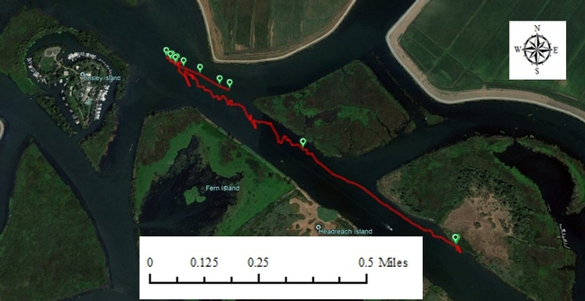 Figure 6. An example of a plant mat changing course as the tide changed. The red line records the track of the GPS in a water hyacinth mat.  San Joaquin main channel. November 16, 2017.