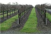 Capay Valley vineyard Dec2010