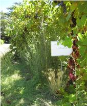 untreated panicle willowherb in a CA vineyard