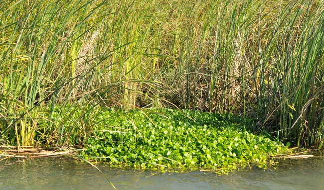 Spongeplant- Brannan Island, Sacramento-San Joaquin Delta