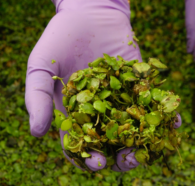 Handful of young South American Spongeplants (Note: There are several duckweed plants attached to these large seedling)