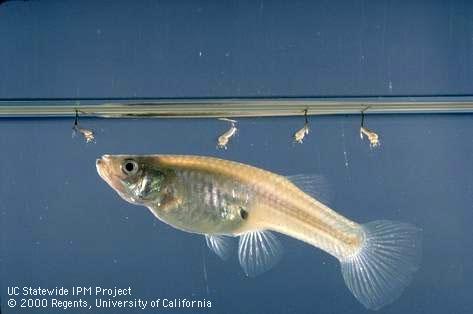 Resized Frozen White Mosquito Larvae Fish Food Image 1