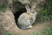 Desert cottontail rabbit. [R. O'Connell.]