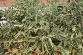 Tomato leaf roll. [R. Wallace agrilife.org]