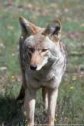 Adult coyote. [J.W. Wall, Cal Photos]