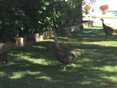 wild turkeys in landscape. [K.Windbiel-Rojas]