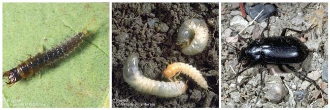 Predaceous ground beetle life cycle (L-R)larva, pupa, adult.