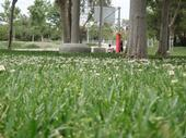 Lawn with weeds. (Cheryl Wilen)