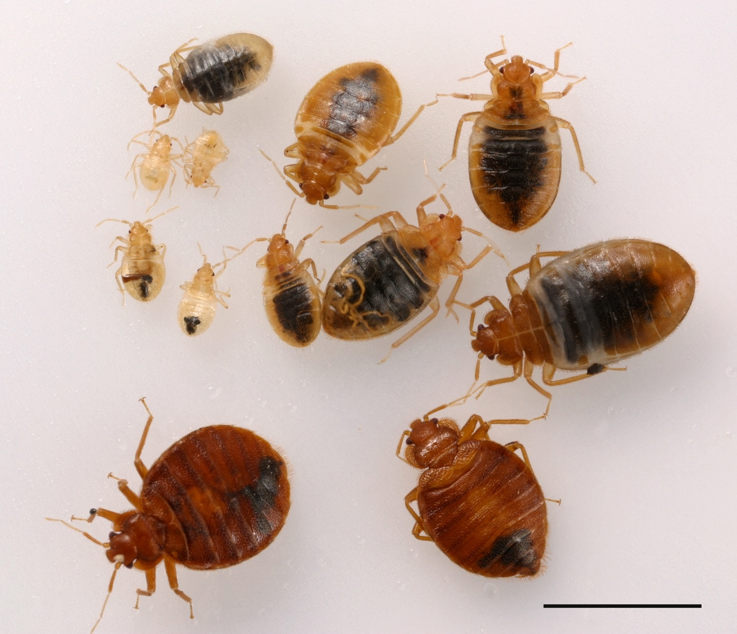 Do It Yourself Bed Bug Control Pests in the Urban Landscape