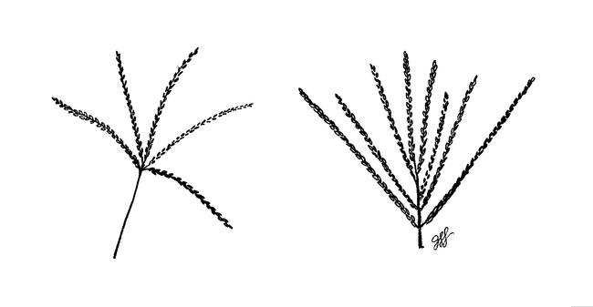Fig 4. Flowering stems of bermudagrass (left) and crabgrass. (Illustration: Jacqueline Lockwood)