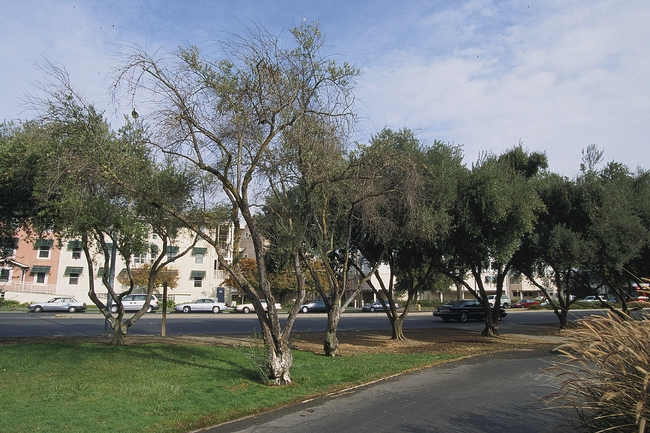 Figure 1. Limb dieback and sparse canopy of overwatered olive trees around which turf was planted. Unirrigated trees in the background are healthy. (Photo credit L.R. Costello)