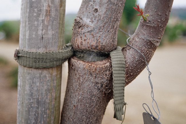 Fig 2. Mechanical injury to the trunk of a young tree. A planting stake tie was attached too tightly and left on too long, girdling the trunk. (Photo credit L. R. Costello, UCCE)