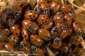 Lady beetles. (Credit: Jack Kelly Clark)
