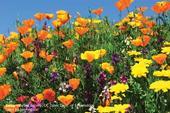 Photo Nectar and pollen-producing plants in full bloom. (Credit: Kathy Keatley-Garvey)