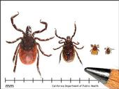 Life stages of the western blacklegged tick. From left to right: adult female, adult male, nymph, and larva. (Credit: CA Department of Public Health)