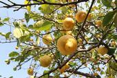 Lemons on a tree. (Credit: Pixabay.com)