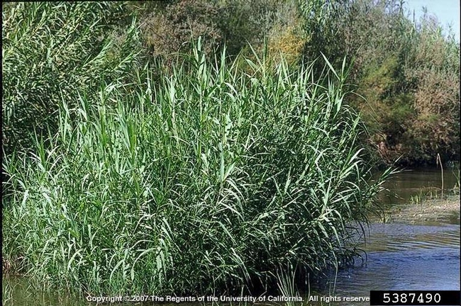 Giant reed invading a waterway. (Credit: Joseph M. DiTomaso)
