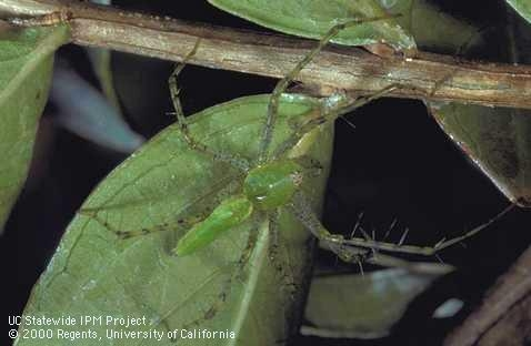 Adult green lynx spider. (Credit: Jack Kelly Clark)