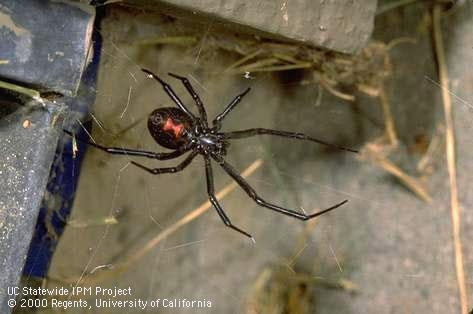 Underside of female adult black widow spider. (Credit: Jack Kelly Clark)