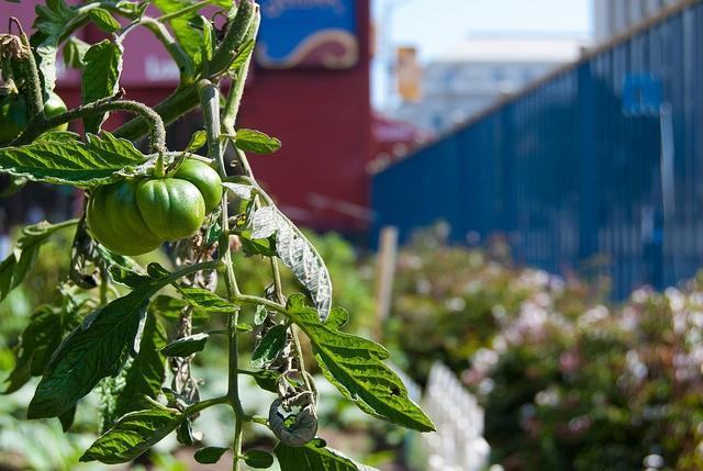 tenderloin peoples garden tomato Sergio Ruiz