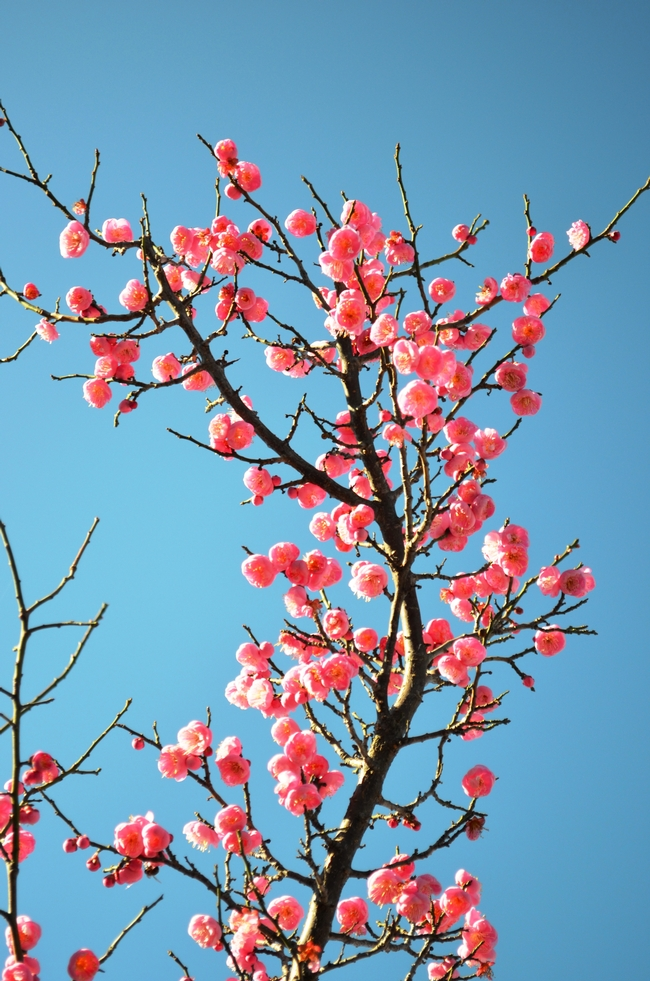 Branch loaded with apricot flowers.