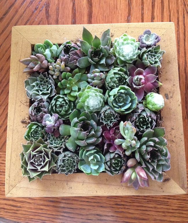 The finished picture frame of succulents.