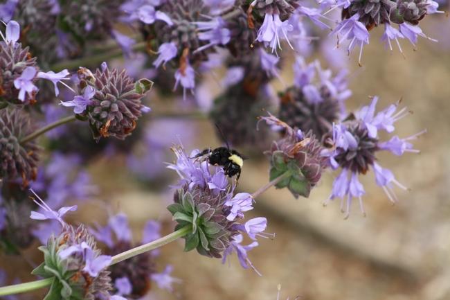 Common female bumble bee (Bombus occidenatlis)