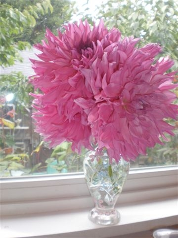 Pink dahlia. (photo by Sharon Rico)