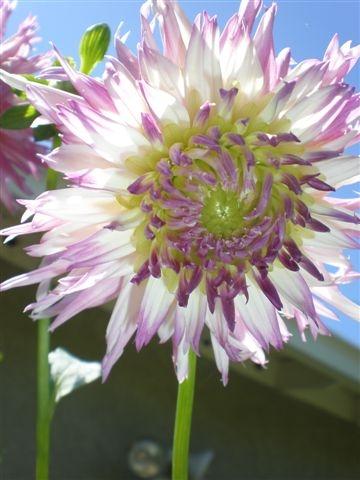 Lavender and white dahlia.