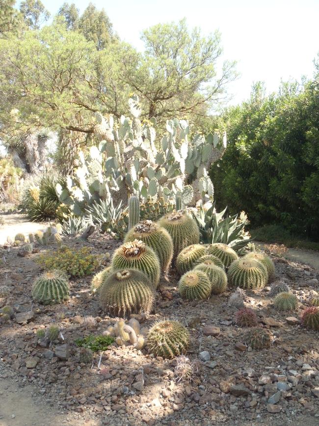 barrell cactus