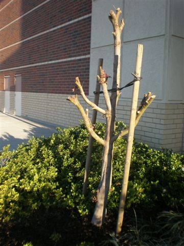 Poorly pruned Japanese maple. This pruner needs to be educated! (photo by Sharon Rico)
