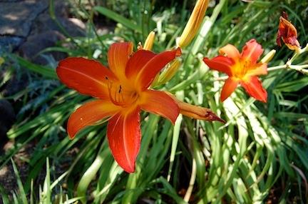 Single daylily (Hemerocallis spp.)