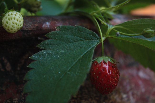 A strawberry dangles from a pot. (photos by Jennifer Baumbach)