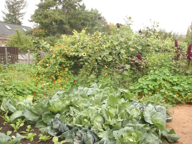 Sunflowers, and plumes of Amaranth in the background with cabbages in the fore.